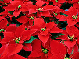 poinsettieas