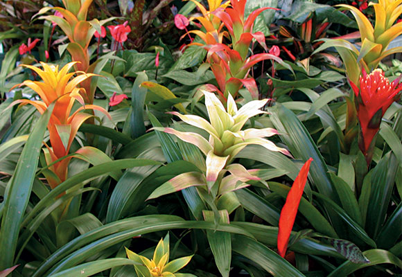 bromeliad-tropical-THD-580x400
